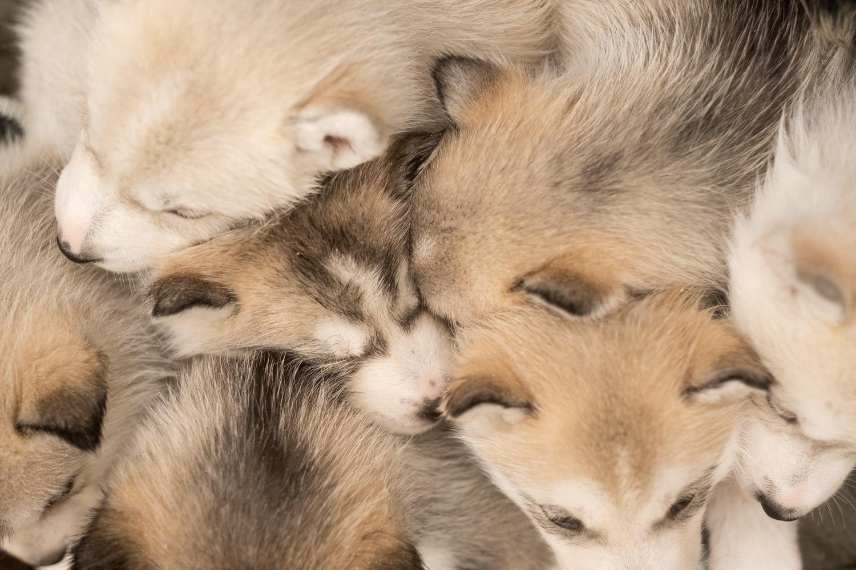 portrait de chien, photo de chien, husky, chiot, chien, séance photo chien, séance photo chiot, séance photo husky